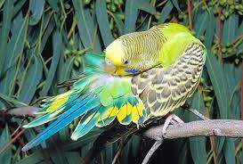 Симптомы заболеваний домашних попугаев