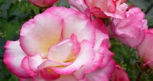 Розы на садовый участок - как правильно выбрать посадочный материал?